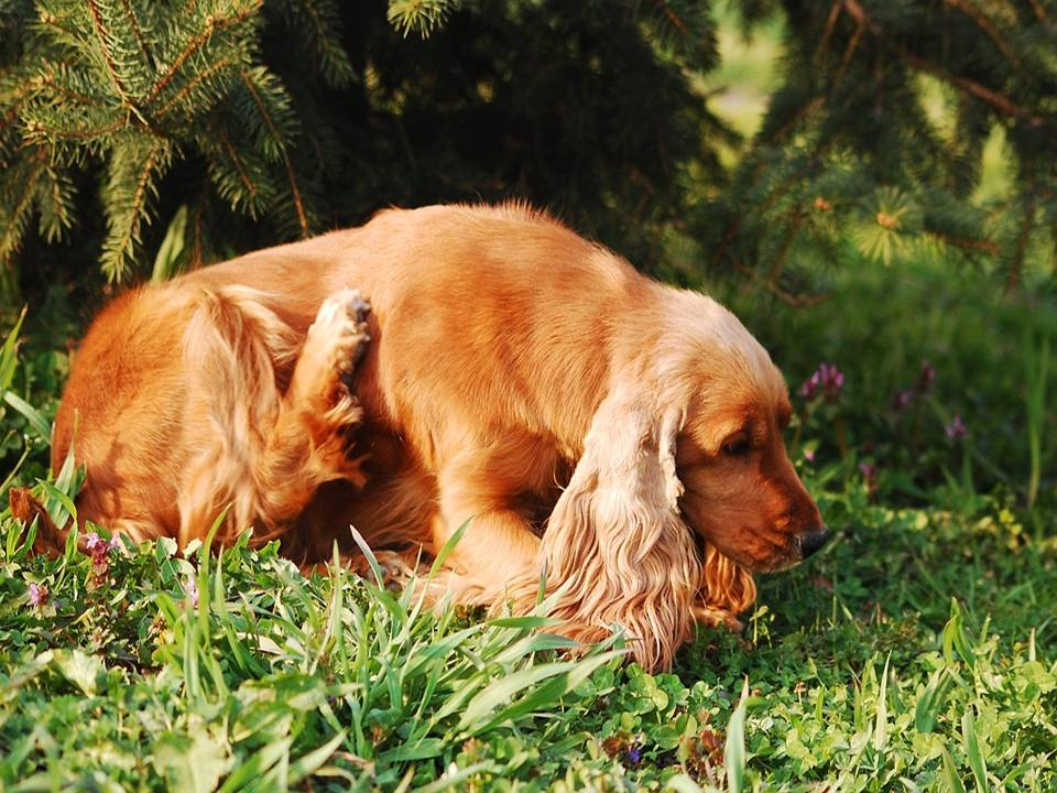 Skin and Allergies for a Dog