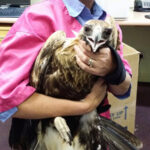 Young Eagle Recovers at the Zoo